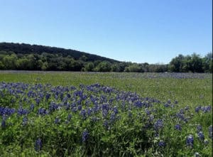 A green meadow of bluebonnets in front of a small mountain with blue sky