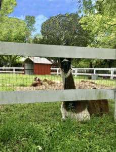 A brown and white llama lays by a white fence with a red shed and 2 goats behind her.