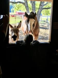 A brown horse and a grey donkey stick their heads through a window of a barn and a boy is giving them an apple.
