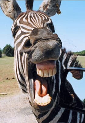 Close up of a zebra with his teeth showing.