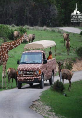 A safari truck on a road with a giraffe and emu eating from passenger's hands.